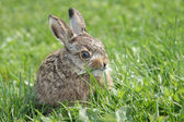 Little hare — Stock Photo