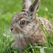 Little hare - Stock Photo
