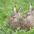 Stock Photo: Two little hares