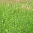 Young green grass background, meadow, nature — Stockfoto