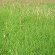 Young green grass background, meadow, nature — Foto Stock #3601853