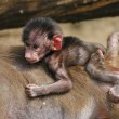 Newborn baby baboon — Stock Photo #3112029