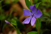 Periwinkle flowers — Stock Photo
