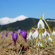 Постер, плакат: Snowdrops and crocuses in mountains
