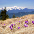 Постер, плакат: Crocuses blossoming in mountains