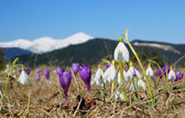 Snowdrops and crocuses in mountains — Stock Photo