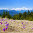 Crocuses blossoming in mountains — Stock Photo