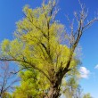 Stock Photo: Tree willow in spring