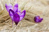 Blossoming crocuses — Stock Photo
