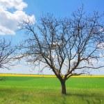 Tree at green grass near field — Stock Photo #3478988