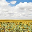 Field of sunflowers and blue sun sky — Stock Photo