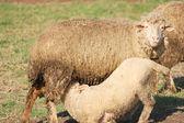 Cute baby sheep eating milk — Stock Photo