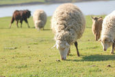 After this winter sheep in a pasture of green grass — Stock Photo