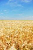 желтое поле — Стоковое фото