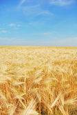 Geel veld — Stockfoto
