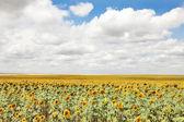 Campo di girasoli e sole blu cielo — Foto Stock