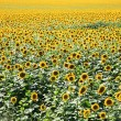 Sunflowers field — Stock Photo #3538546
