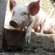 Ukrainian farm pigs — Stock Photo
