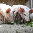 Ukrainifarm pigs — Stock Photo #3538617