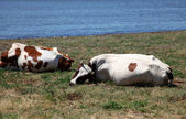 Cows near water — Stock Photo
