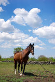 Horse at green field — Stock Photo