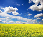 Rape field. Background photo. — Stock Photo