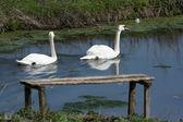 Swans — Stockfoto