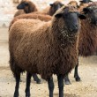 Cooper-red sheep — Stock Photo