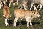 Livestock — Stock Photo