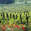 Vineyard — Stock Photo #3312387