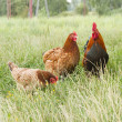 Stock Photo: Rooster and two hen