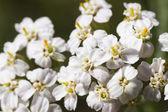 Macro of bunch tiny white flower — Stock Photo