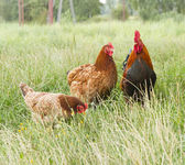 Rooster and two hen — Stock Photo