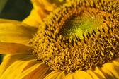 Ayçiçeği close-up — Stok fotoğraf