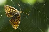 бабочка в ловушке в паутина — Стоковое фото
