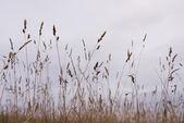 Dry grass silhouette — Stock Photo
