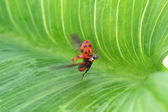 Coccinelle — Stock Photo
