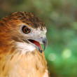Red-tailed Hawk — Stock Photo #2759212