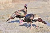 Wild Turkey (Meleagris gallopavo) — Foto de Stock