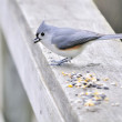 Tufted Titmouse - Stock Photo