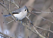 Tufted Titmouse — 图库照片