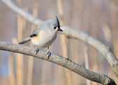 Tufted Titmouse — Stock fotografie