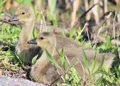 カナダのガチョウ他の-家禽 — ストック写真