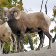 Bighorn Sheep — Stock Photo #3179180