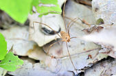 Harvestman - Daddy Longlegs — Stock Photo