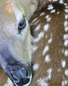 新生儿白尾鹿鹿小鹿 — 图库照片