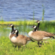 Stock Photo: CanadGeese