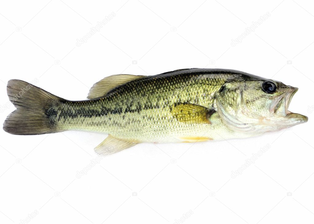 A young  fresh water largemouth bass. — Stock Photo #3292405