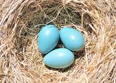 Three Robin Eggs — Stock Photo
