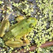 Bullfrog — Stock Photo #3396441